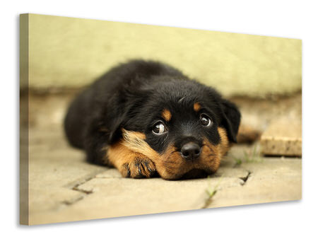 Canvas print Sweet Rottweiler puppy