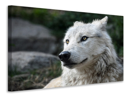 Canvas print The lonely wolf