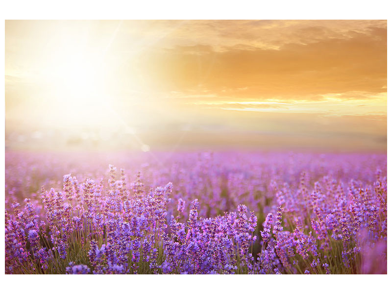 Canvastavla Sunset In Lavender Field