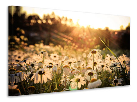 Canvastavla Daisies At Sunset