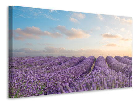 Canvastavla The Blooming Lavender Field